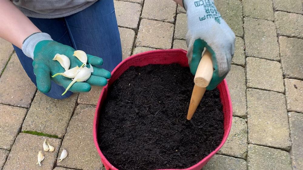 Planting Grocery Garlic